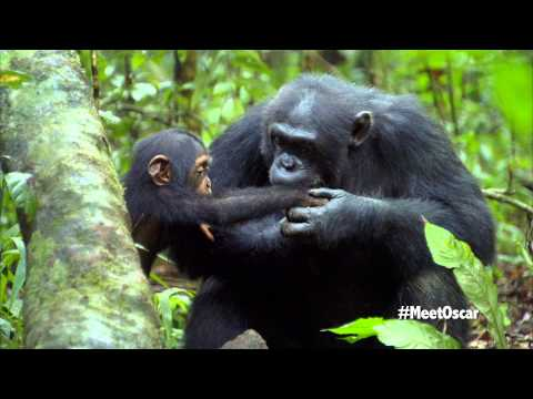 Chimpanzee - Oscar's Chimp Diaries Part 3 | HD
