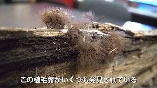 植毛薪の情報求む