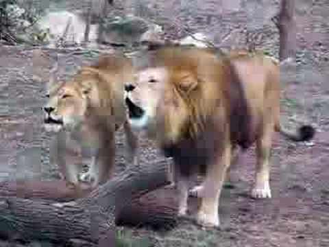 Lion Roaring Allah (2) video