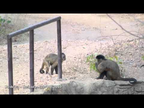 Stone throwing as sexual display by female capuchin monkeys