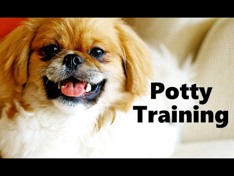 Training Spaniel Puppies a Tibetan Spaniel Puppy