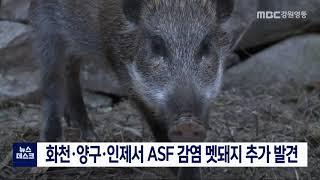 화천·양구·인제서 ASF 감염 멧돼지 추가 발견