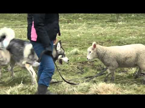 Lamb enjoys outdoor playtime with Husky