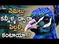 నెమల్లు కన్నీళ్ళ ద్వారా పిల్లల్నికంటాయా - Top 10 Peacock Facts..! | Eyecon Facts