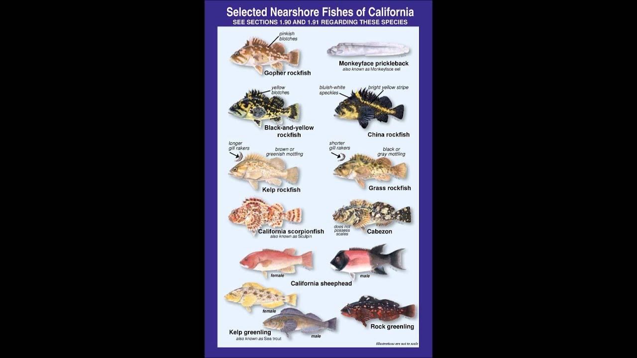 Common california saltwater fish for shore based anglers for California saltwater fish species