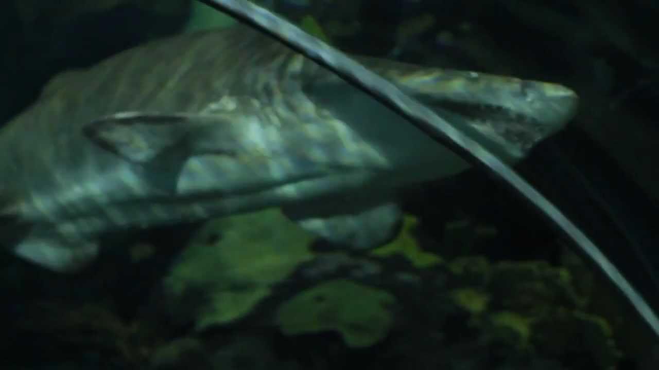 Sharks Shark Lagoon Ripley 39 S Aquarium Of The Smokies