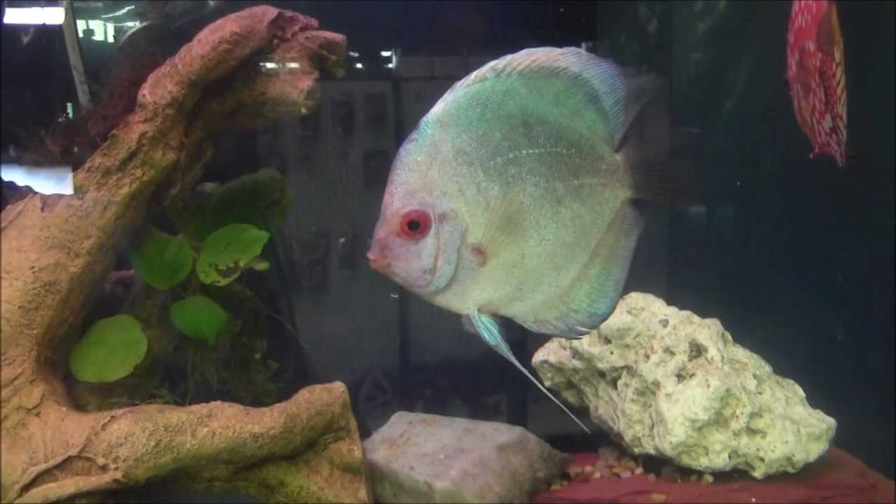 How to keep discus fish part 1 youtube for Keeping discus fish
