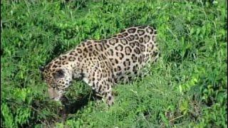 Salto Gigante Jaguar Line TV