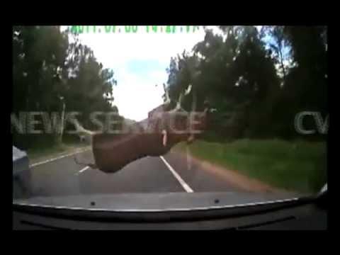 Deer Pounces And Crashes Into