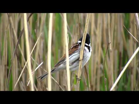 Reed Warbler, Reed Bunting & other wildlife - 18th May 2013