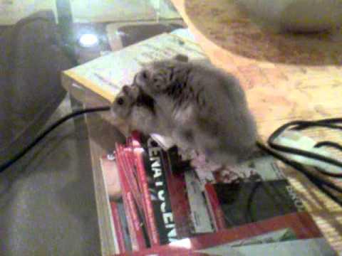 Funny hamster sex