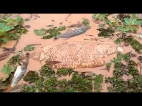 Peixes mortos no rio Doce na cidade de Resplendor