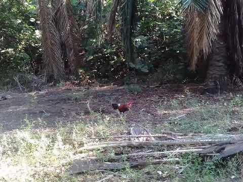 Pikat ayam hutan 2017..si karen..1.