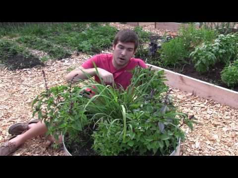 How to Grow Lemongrass - Complete Growing Guide