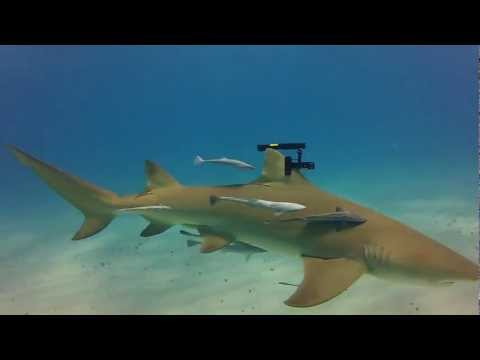 Real Life Sharks with Wicked Laser Beams
