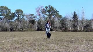 Puppy Training DOGTRA Lab LUCY  OFF LEASH RECALL SLO MO