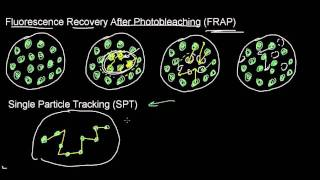 lecture 17 part 3 (FRAP, SPT, cell fusion, lipid rafts, distribution of proteins)