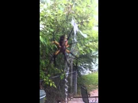 Banana Spider vs Black Widow