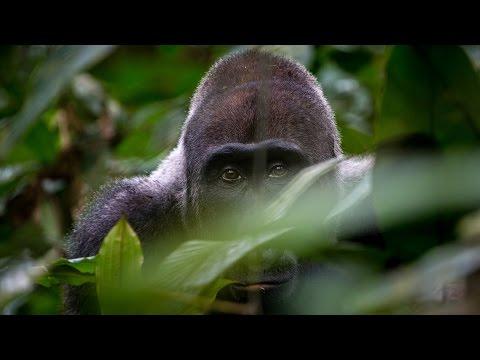 2017  _  Gabun _  Im Land der Gorillas |  Tiere Doku HD