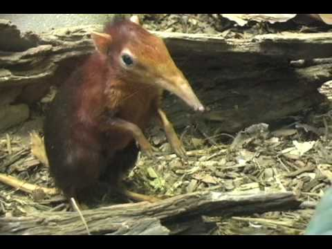 Baby Elephant Shrew - February 2009