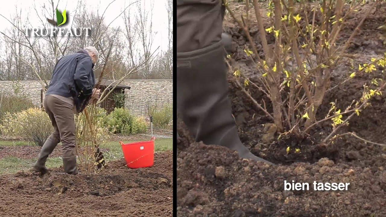 Plantation du forsythia et entretien jardinerie truffaut - Quand tailler un forsythia ...