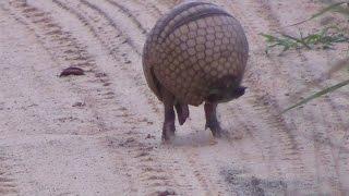 Tatu virando bola,  Armadillo  rolls into a ball - In the wild Brazil