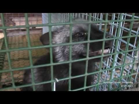 Horrific Fur Farm Footage from Animal Protection Norway and Network for Animal Freedom