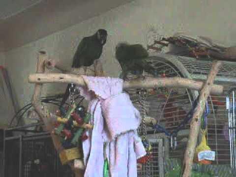 Mini Yellow Yellow Collar Mini Macaw