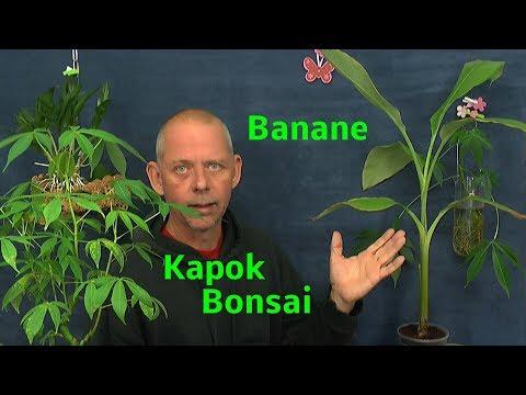 Banane umtopfen und Kapok Bonsai schneiden. Indoor Bonsai