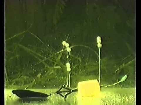 ловля толстолобика весной видео