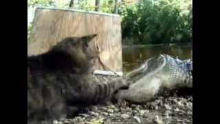 CAT FIGHT ALIGATORS.