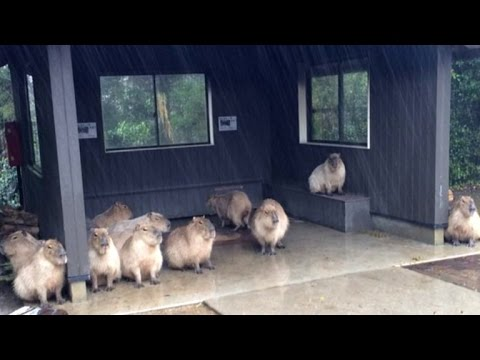 11 of The World's Largest Rodents Adorably Seek Shelter from Rain