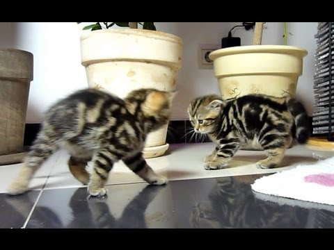 Funny dancing fighting Cute Ninja Kittens.