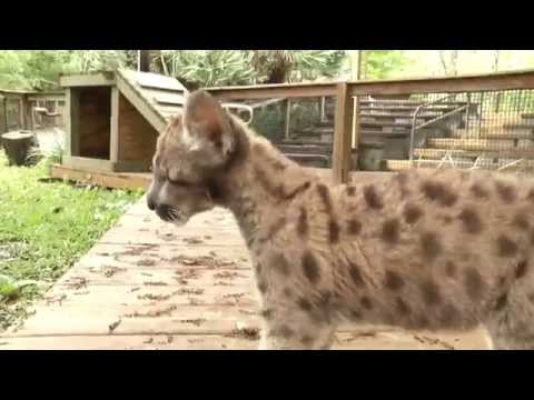 Rescued Florida Panther Kitten enjoys outdoors - Tampa's Lowry Park Zoo