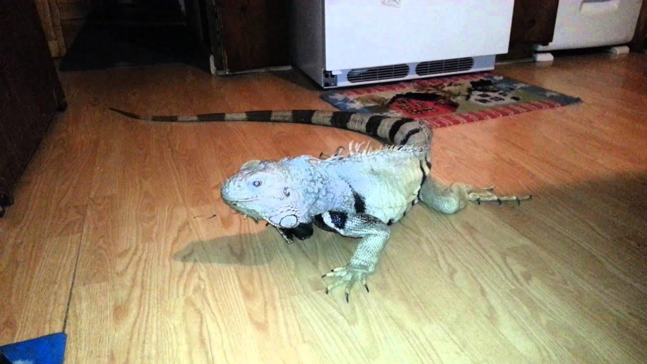 6 Foot Iguana YouTube