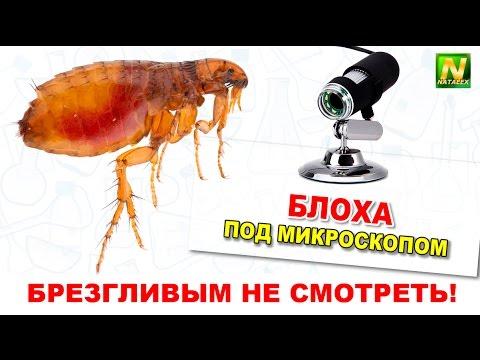 [Natalex] Живая блоха под микроскопом (Ctenocephalides felis)...