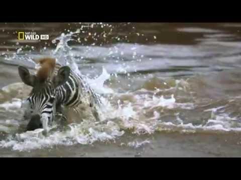 Африканский Крокодил--Нападение  на зебру