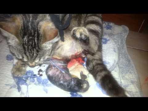Un accouchement d'un chat