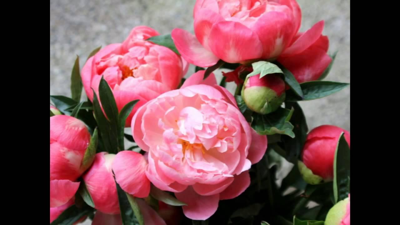Красивые цветы пионы хорошего качества