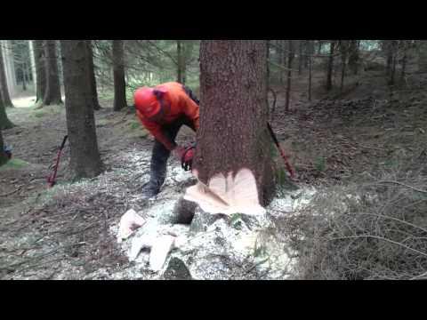 Kácení stromů, když se nedaří