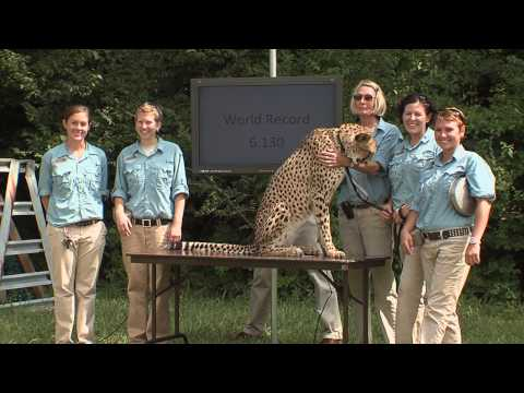 Cheetah Sets Record-Cincinnati Zoo Video