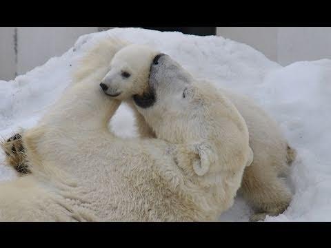 ホッキョクグマの赤ちゃん 屋外デビュー〜Hello! Polar Bear Baby!!