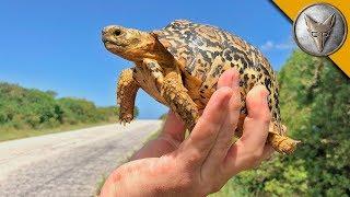 Tiny Tortoise Dodges Traffic!