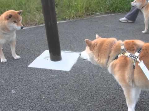 犬の口ケンカ。 Shibamichy