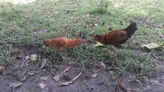 Cock and Hen fight /মুৰ্গা আৰু মুৰ্গীৰ তুমূল কাজিয়া।