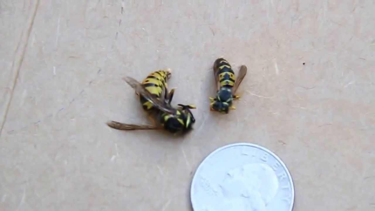 Queen Wasp Size Yellow Jacket Queen vs