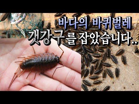 갯강구파티! 바다바퀴벌레가 한가득 통하나로 채집시작