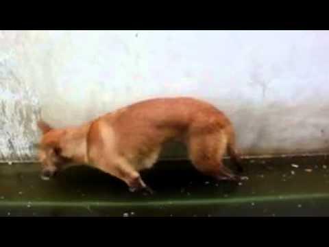 Смешно   Собака уснула в луже и упала