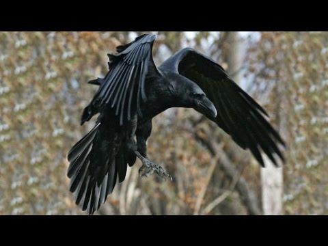 черный ворон песня слушать голос
