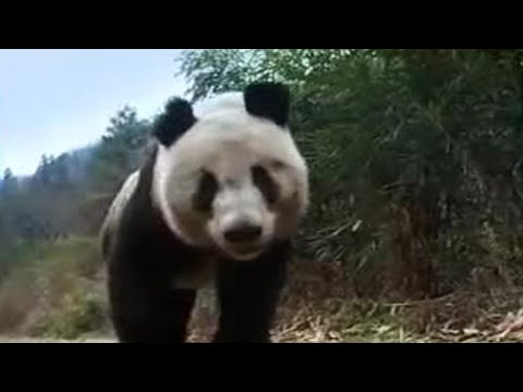 Giant panda bear does handstand! BBC wildlife Video